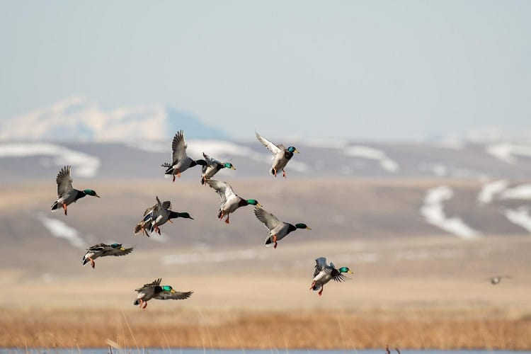 Waterfowl Migration
