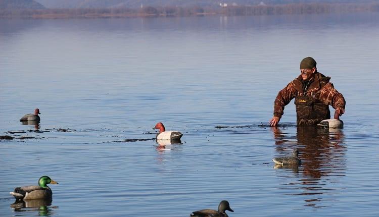 Spreading Duck Decoys