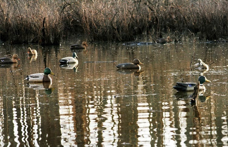 Ducks With Decoys