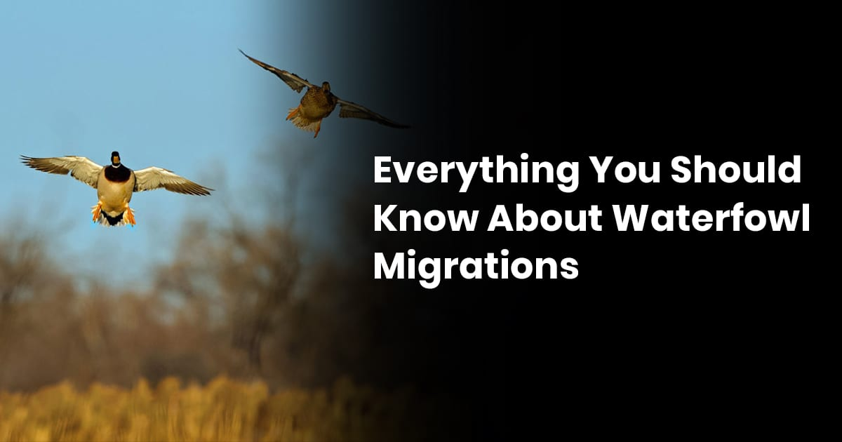 Everything You Should Know About Waterfowl Migrations