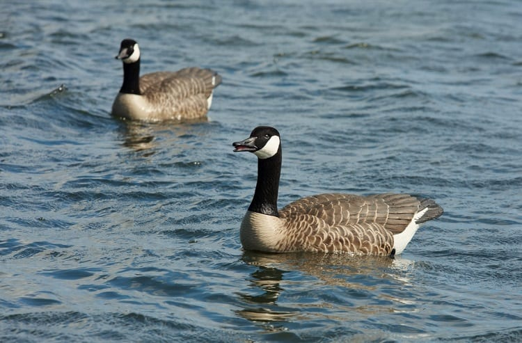 Geese Decoys In Water