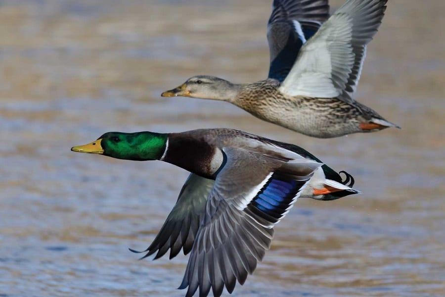 duck season start