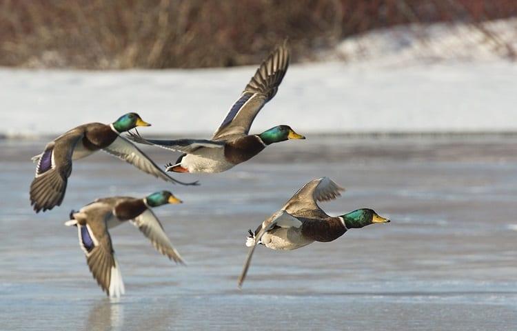 ducks on lake in winter