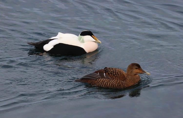 common eider male and female