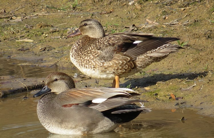 male and female gadwall duck