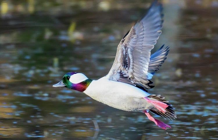 male bufflehead duck