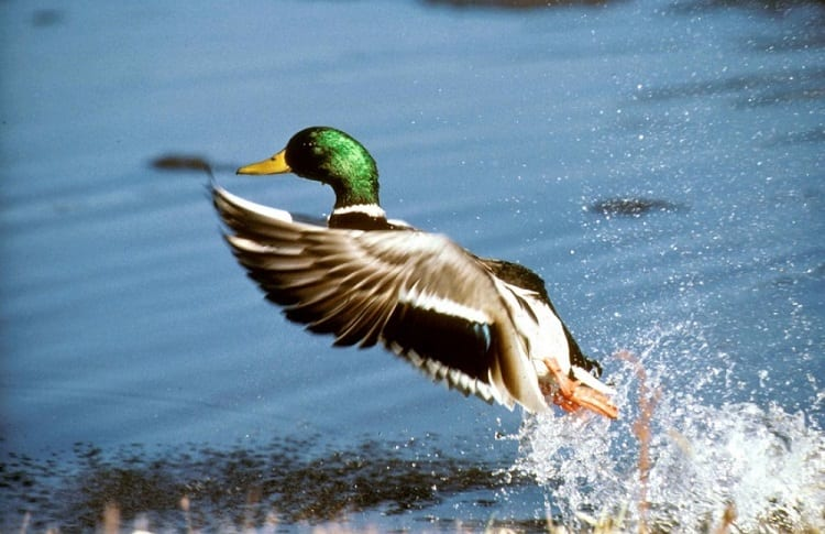 mallard landing on lake