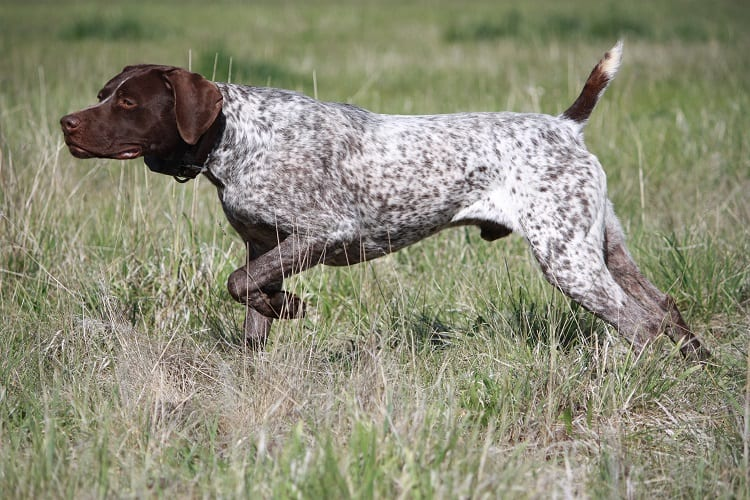 Best hunting dog breeds for beginners