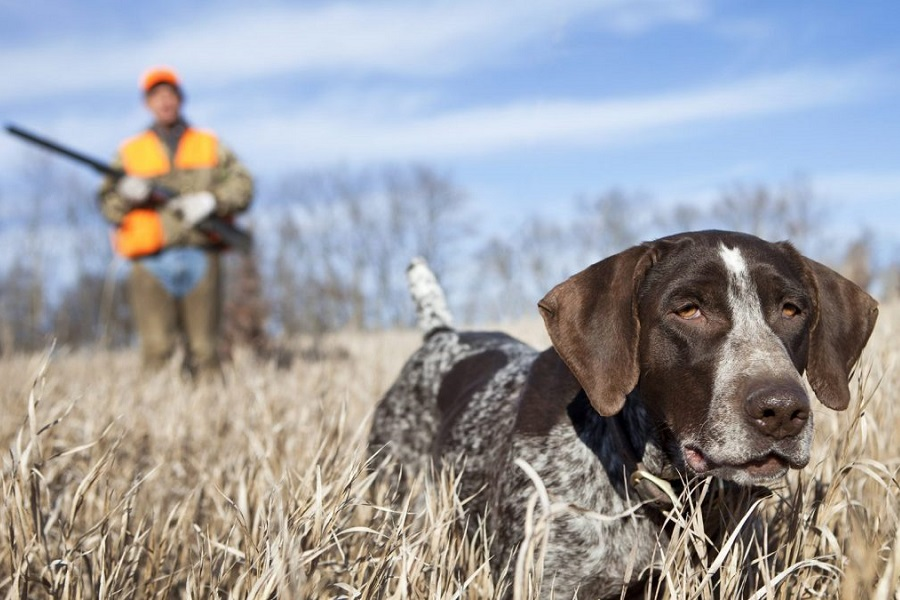 How To Train A Hunting Dog? Fast Guide