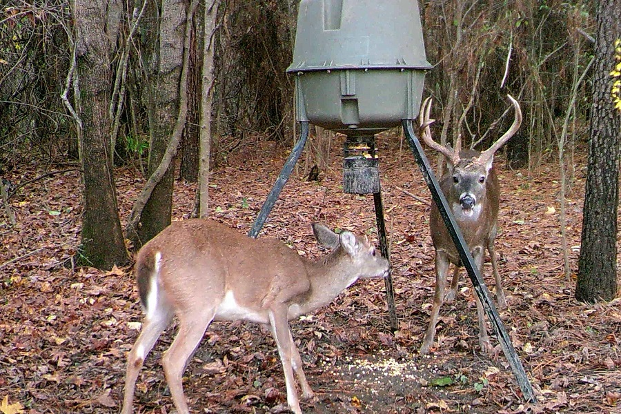 Deers on Homemade Deer Feeder