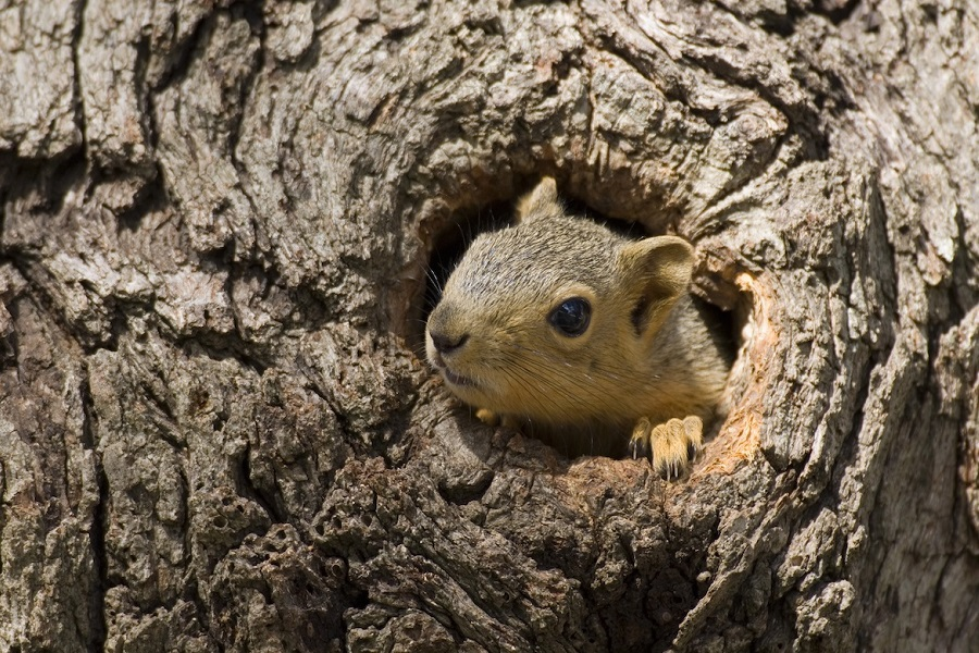 Squirrel in its tree hole