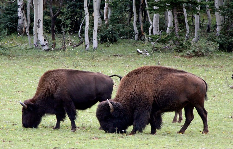 bison hunting game