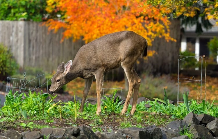 deer nutrition in the summer