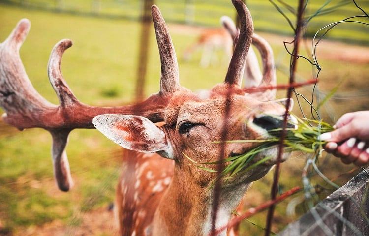 nutrition of deers