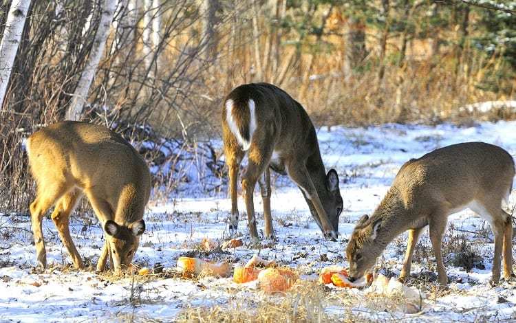 deers feeding in the snow