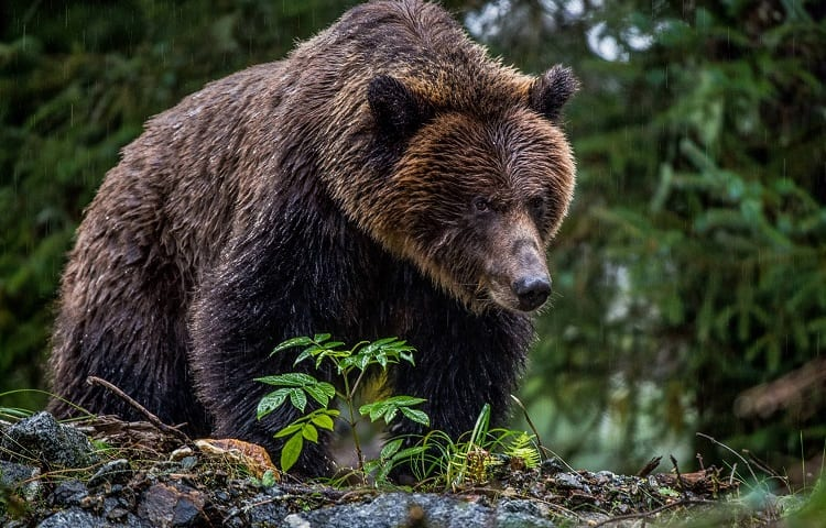 hunting grizzly