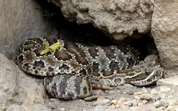 hunting rattlesnake