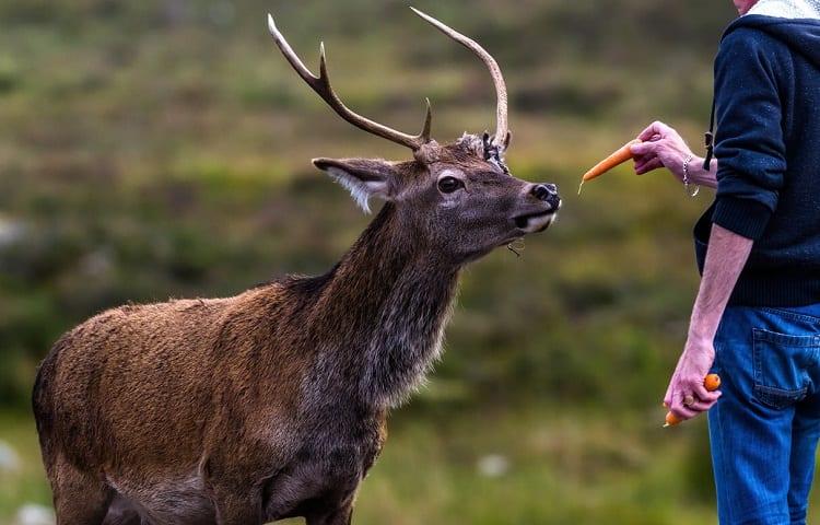 wild deer feeding
