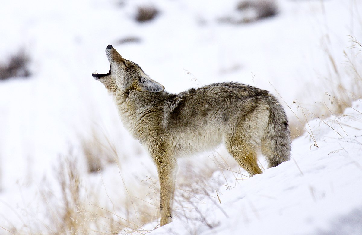 Comprehensive Guide To Coyote Hunting 6