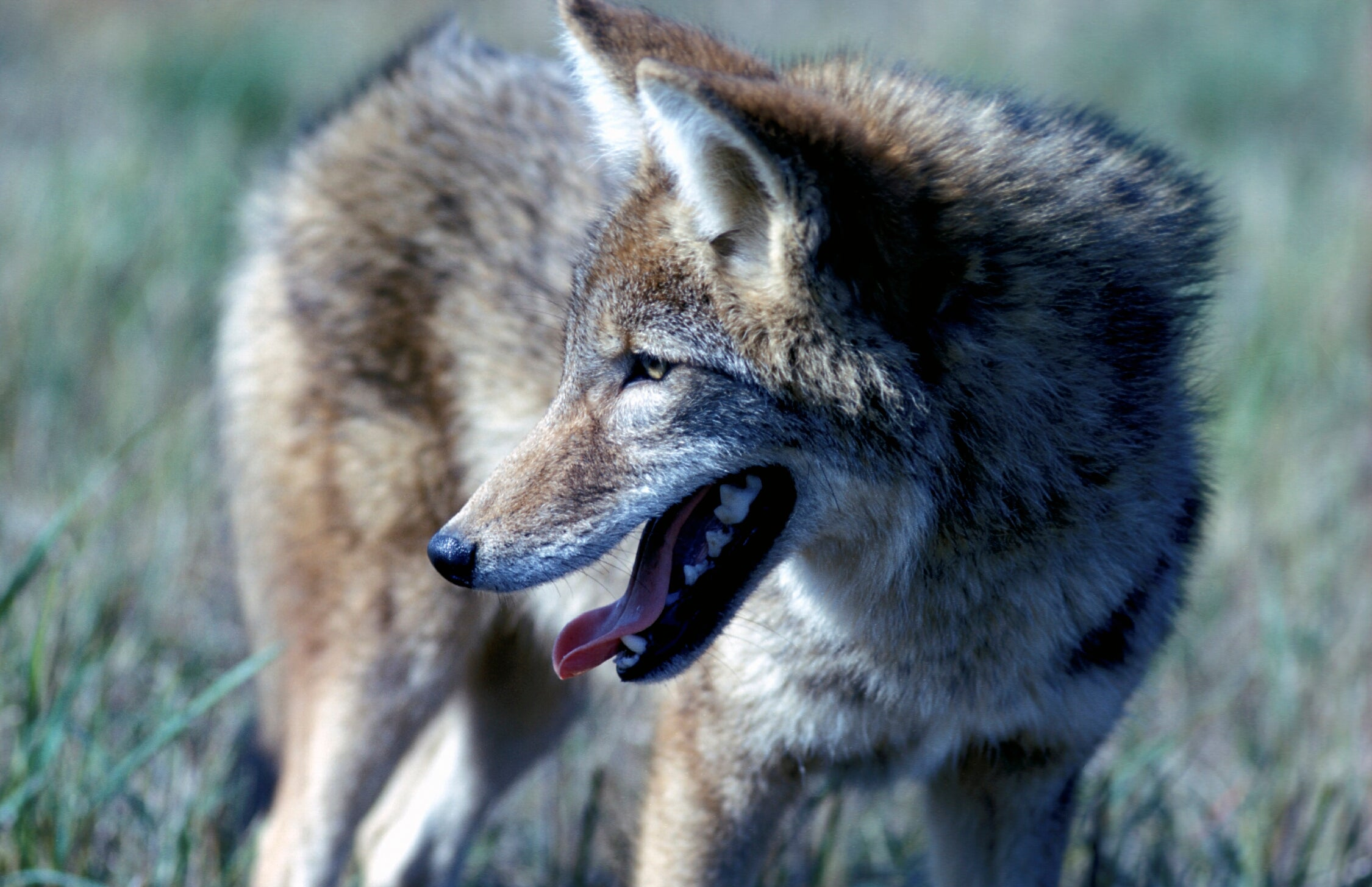 Comprehensive Guide To Coyote Hunting 5