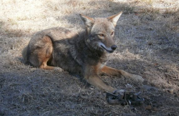 Comprehensive Guide To Coyote Hunting 4