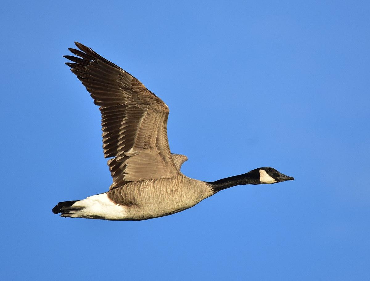Wonders Of Goose Liver 1